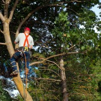 an arborist pruning a tree